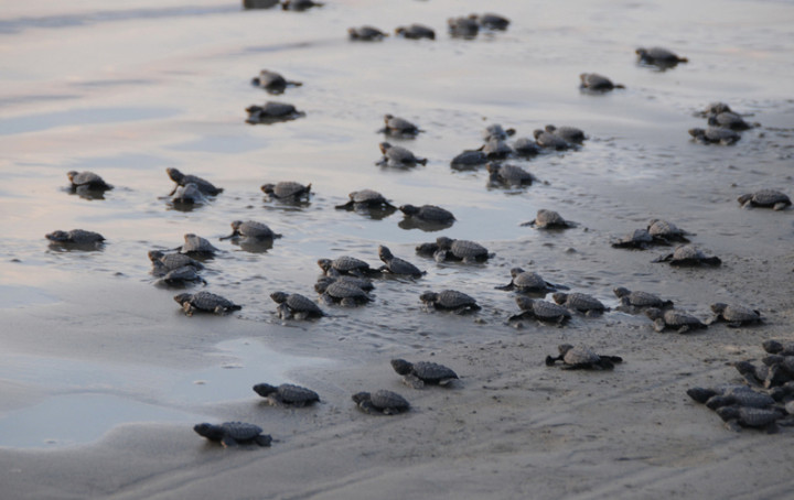 Sea Turtles In Florida What Panama City Beach Is Doing To Protect Them